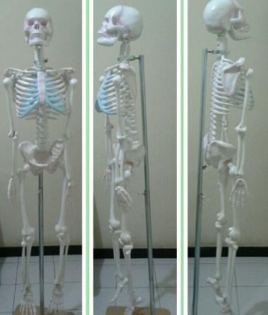 model rangka manusia, kerangka manusia, produsen kerangka, alat peaga anatomir