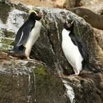 シュレーターペンギンの大人の写真