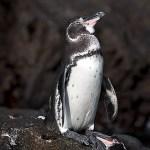 ガラパゴスペンギンの大人の写真