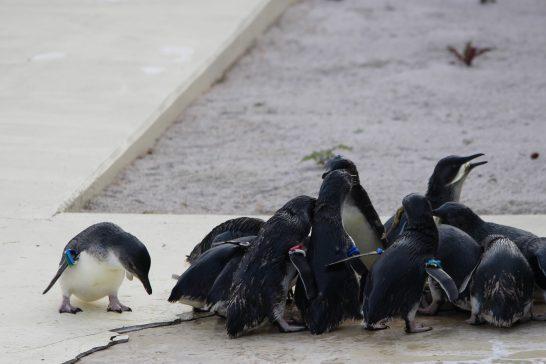 葛西臨海水族館(東京)のコガタペンギン