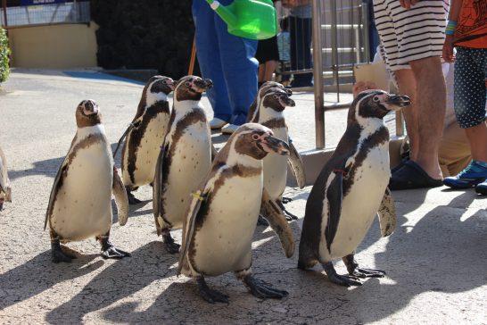 下田海中水族館(静岡県)のフンボルトペンギン