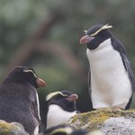 スネアーズペンギン大人の写真
