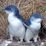 コガタペンギンの大人の写真