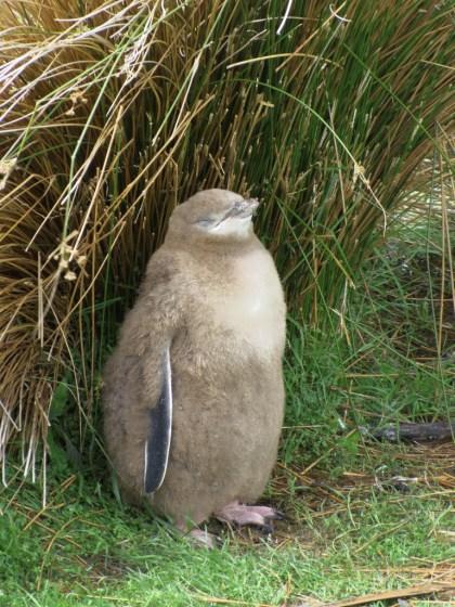 キンメペンギンのヒナの写真