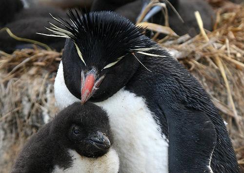 イワトビペンギンの親子の写真