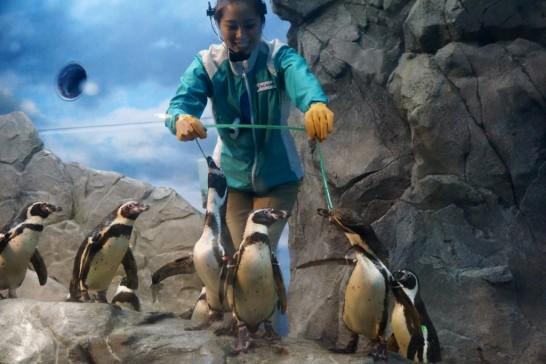 えのすいトリーターと遊ぶフンボルトペンギン