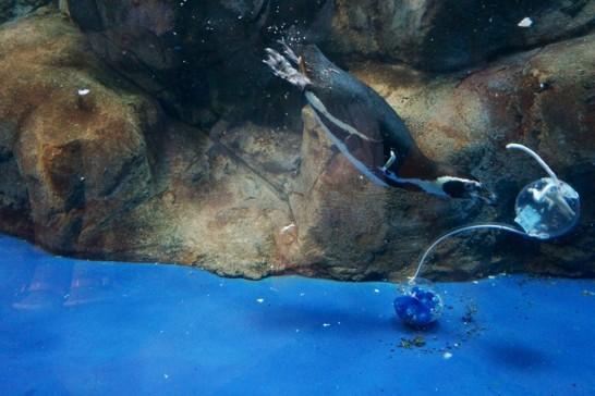 餌の入ったカプセルを開けようとするフンボルトペンギン