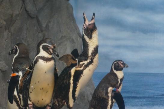 新江ノ島水族館で空に向かって鳴くフンボルトペンギン