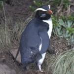 フィヨルドランドペンギンの大人の写真