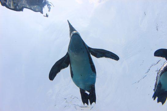 水面に浮かぶケープペンギン