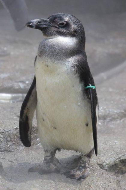 ケープペンギンのヒナ「ポッカ」