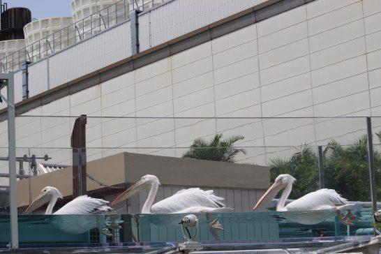 サンシャイン水族館のモモイロペリカン