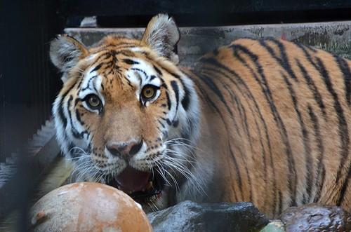 野毛山動物園のアムールトラ「メイメイ」の写真