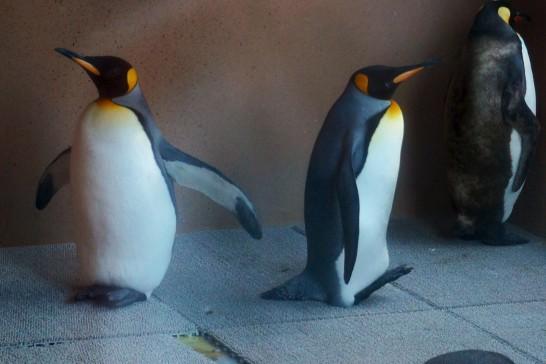 ペンギン舎の冷房室にいるキングペンギン