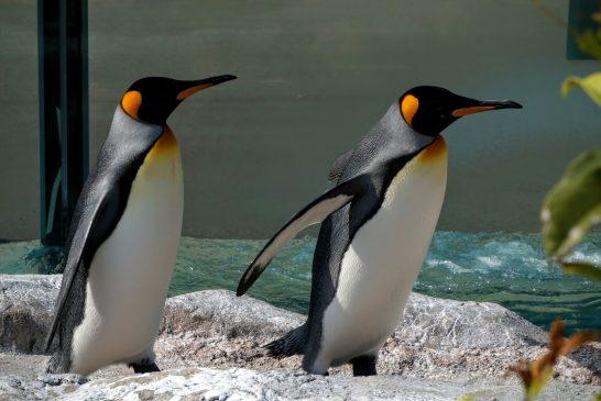 毛並みの美しいキングペンギン