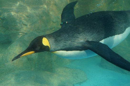 プールを回遊するキングペンギン