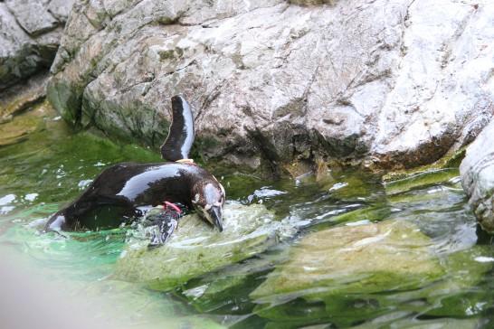 プールから上がろうと必死なフンボルトペンギン