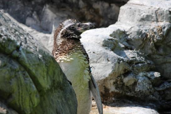 換羽中のフンボルトペンギン