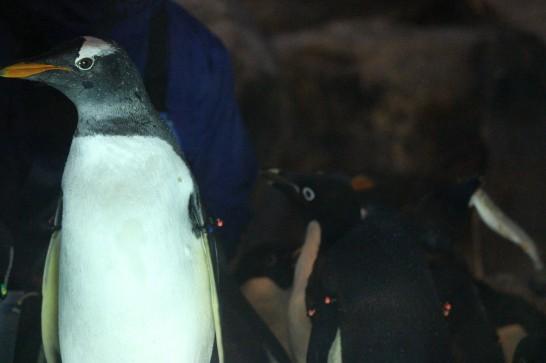 横顔が美しい名古屋港水族館のジェンツーペンギン