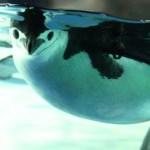 プカプカと浮かぶヒゲペンギン