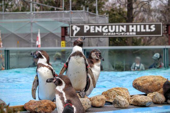 プールサイドに佇むフンボルトペンギン