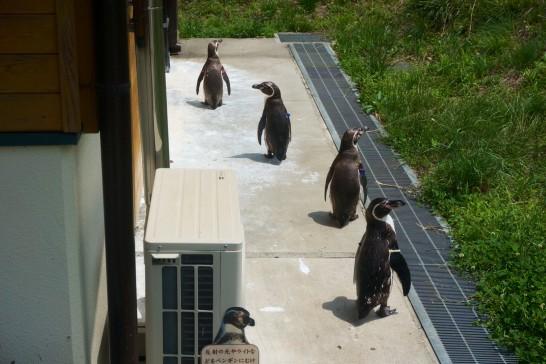 ペンギンヒルズの入り口付近で列をなすフンボルトペンギン