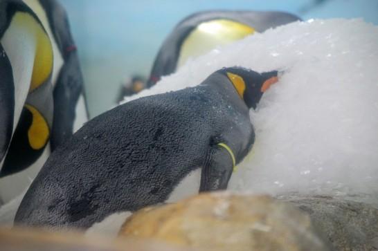 雪の上で眠るキングペンギン