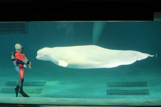 鴨川シーワールドのベルーガ(白イルカ)のショー