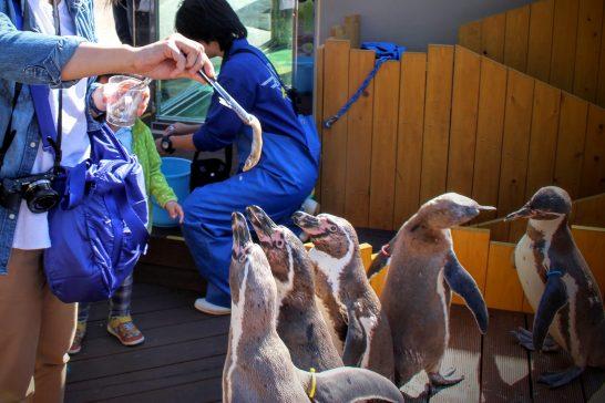 フンボルトペンギンへの餌やり体験