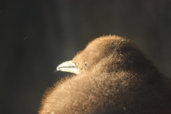 キングペンギンのヒナ/うみの杜水族館