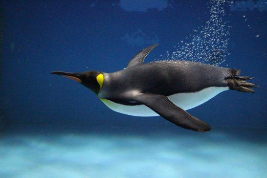 翼を広げて泳ぐキングペンギン