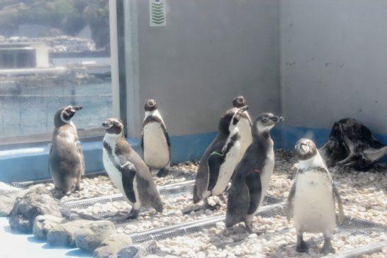 あわしまマリンパークのフンボルトペンギン