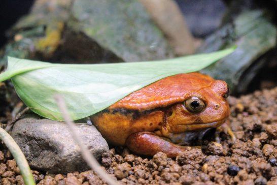 葉っぱでお尻を隠すカエル