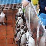 フンボルトペンギンの餌やり