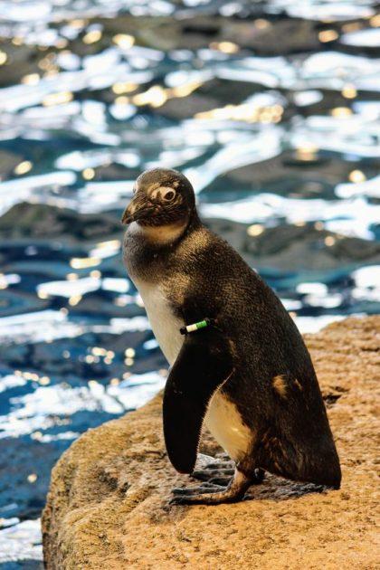 ペンギンの個体識別用バンド