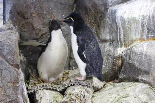 羽繕いをするイワトビペンギンのつがい