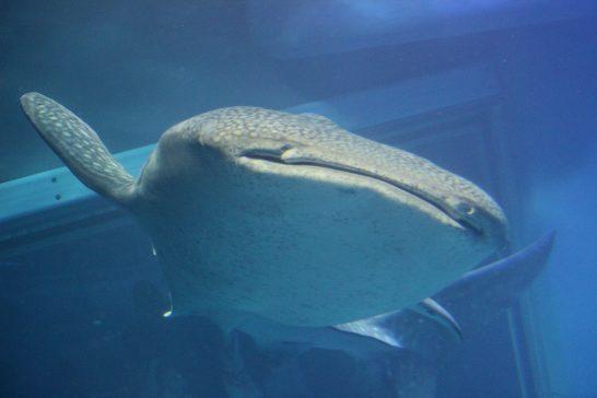 ジンベイザメの正面顔