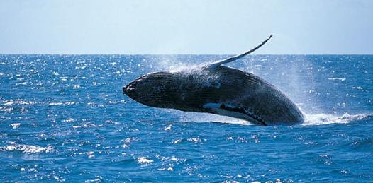 Proteger las ballenas para el desarrollo