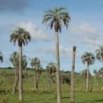 Un inesperado incendio acabó con un sembradío de palmas en Loreto.