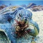 UABCS y CICIMAR estudian la conservación de la tortuga verde en México.
