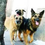 Demandan nueva campaña de esterilización de perros y gatos.