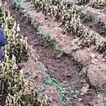 Mientras los agricultores se acomiden al apoyo de los gobiernos federal y estatal, los agricultores continúan lamentando la pérdida de hortalizas quemadas y de granos que se encontraban en floración.
