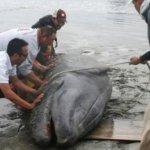 La cría de una ballena gris quedó atorado en la playa, pero gracias a los esfuerzos de personal militar y de la propia dependencia se consiguió hacerla regresar a las aguas de la Laguna Ojo de Liebre, para que buscara a su madre.