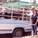 El nivel de la Expo Los Cabos trae ahora como consecuencia que las asociaciones ganaderas de otras partes del Estado, vengan al Municipio a exhibir su ganado, lo que garantiza una gran variedad de animales desde los lecheros, los sementales y los animales que son de engorda para los mejores cortes de carnes.