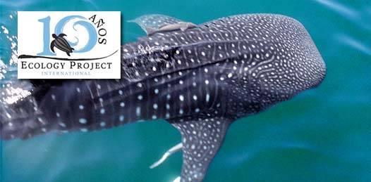 Invita WHEOF a un viaje para estudiar la población del tiburón ballena
