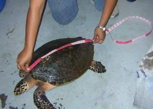 Siguen las redes agalleras dañando tortugas marinas