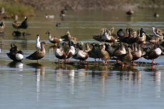Laguna San Ignacio, una de las más importantes de la región para las aves playeras