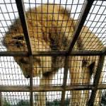 """Jorge Joel Cota Ruíz, dijo que la muerte del león que se presentó el fin de semana pasado, fue por mala atención """"si bien es cierto había ya había indicios de que tenía males renales según expertos de la PROFEPA, dado que tenía 22 años de edad cuando su vida en cautiverio es de 25 años, también la atención no era la adecuada debido a la falta de experiencia de quien maneja el zoológico""""."""