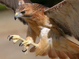 Liberan  halcón peregrino a su hábitat natural