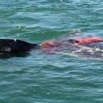 Esta ballena ya fue avistada dos veces en la boca de la Laguna Ojo de Liebre y aunque ya se dio aviso a la Dirección de la Reserva de la Biosfera, los denunciantes solicitan que se haga algo para evitar prácticas pesqueras en la zona de avistamiento de estos cetáceos.